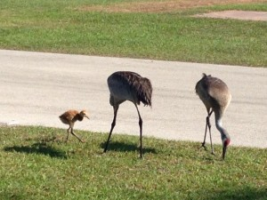 A very friendly family of Sand Crane's that liked to visit us in the mornings.